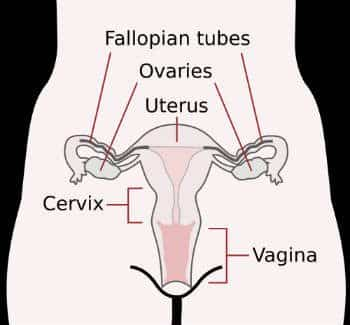 Overview of female reproductive system